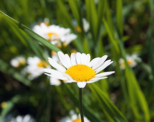 Recent Blogposts. Chamomile Small